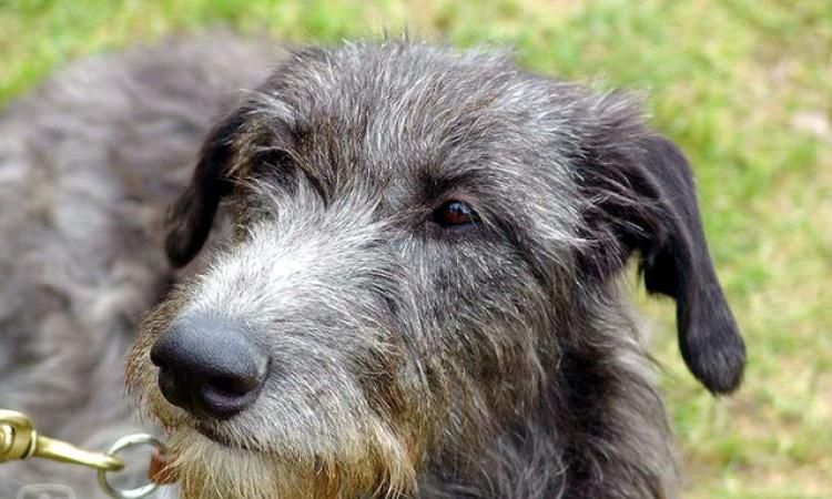 Škótsky jelení pes