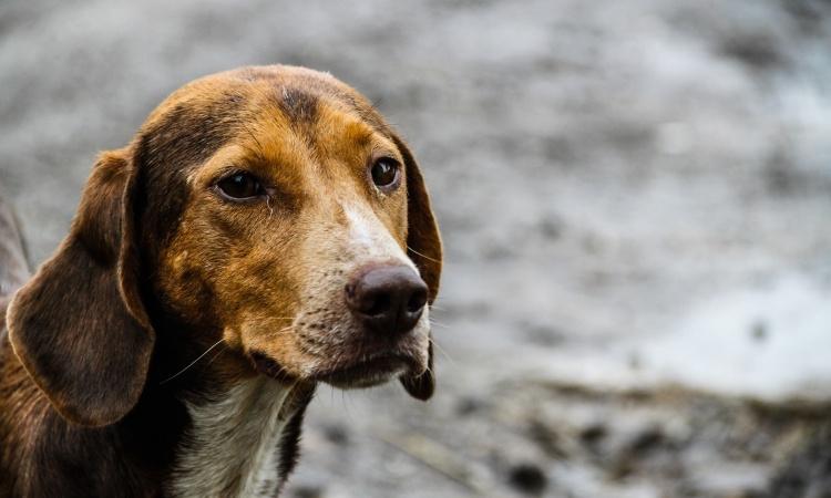 Čo robiť, keď vám ušiel pes?